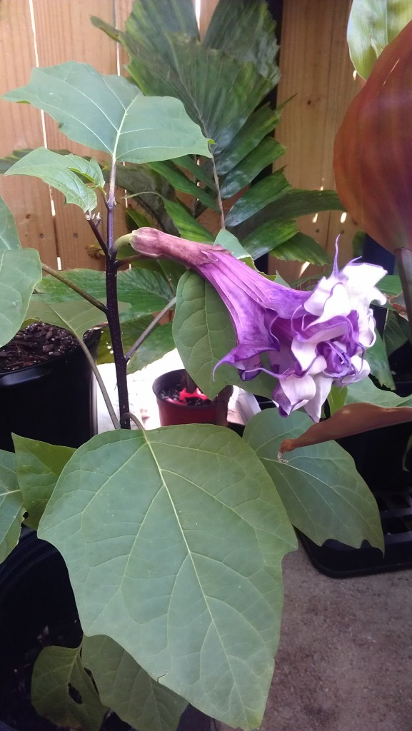 datura devil's trumpet tropical plants nursery florida melbourne space coast brevard