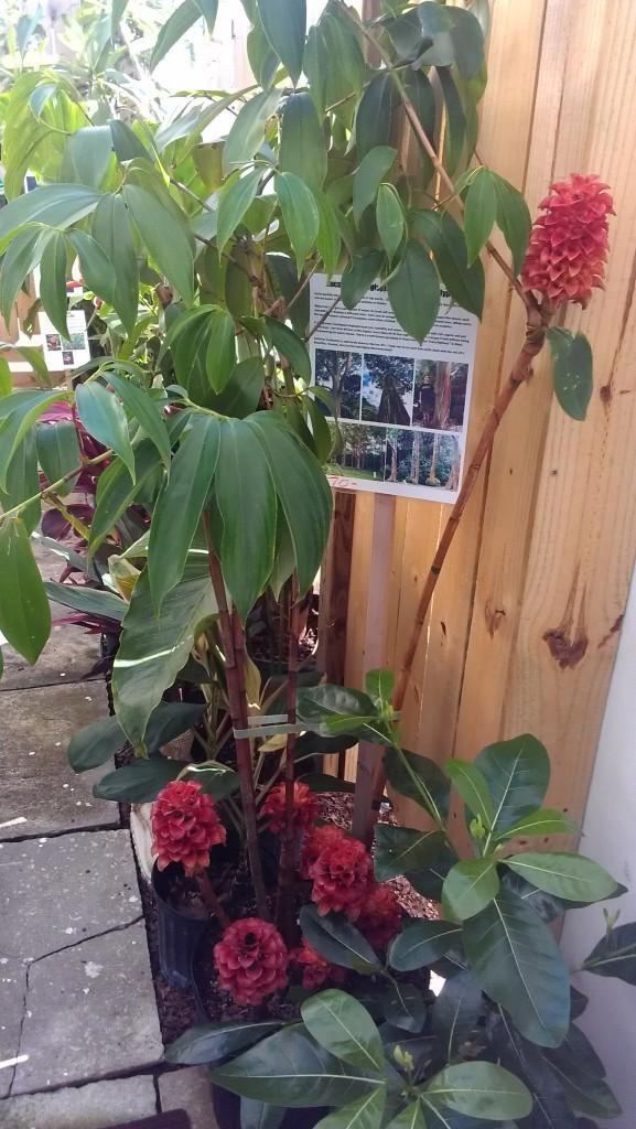 Indonesian Wax ginger Tapeinochilos ananassae tropical plants nursery florida