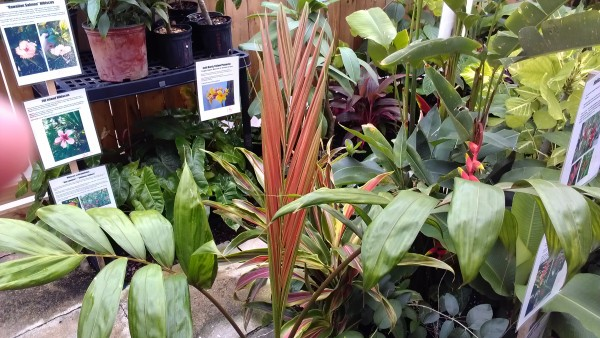 Red Feather Palm Chambeyronia macrocarpa Flamethrower Palm For Sale Florida