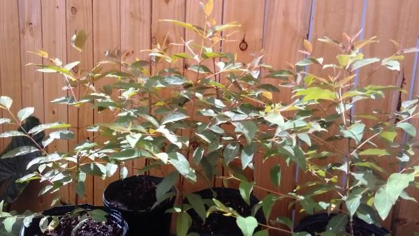 Rainbow Eucalyptus for sale online Eucalyptus deglupta