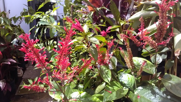 Red Firespike  Odontonema strictum  Florida nursery tropical plants brevard melbourne