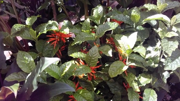 Justicia Spicigera 'Sidicaro' ornage plume flame  florida nursery tropical plants for sale