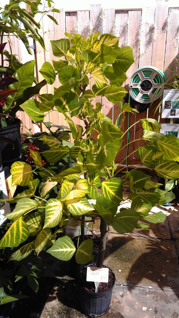 sunshine tree coral erythrina variegata nursery sor sale florida melbourne brevard tropical