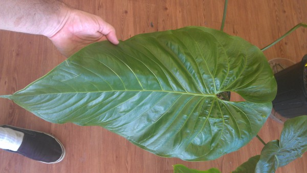 The extra large and jungliscious leaf of Anthurium watermaliense 'Black Anthurium'