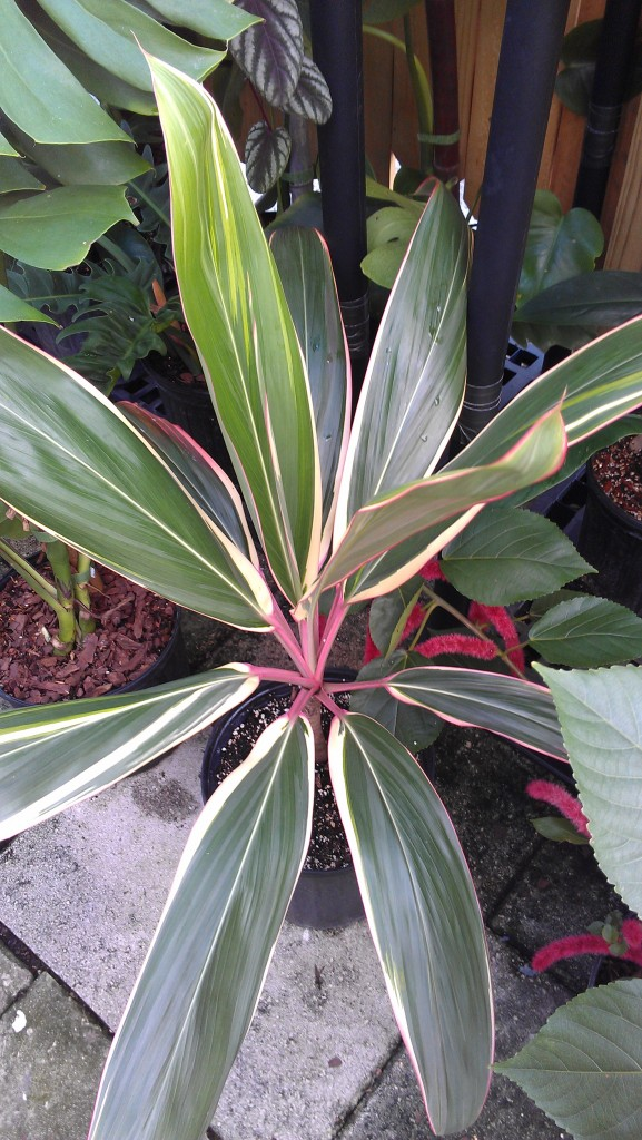 Collector's Cordyline:  'Pink Diamond'  -Hawaiian Ti Plant