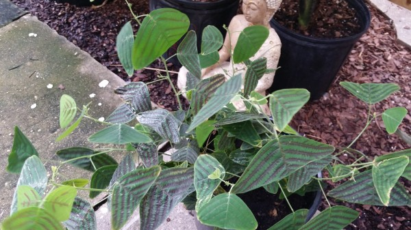 Christia obcordata  Swallow Tail Plant Butterfly Plant Florida Nursery Brevard