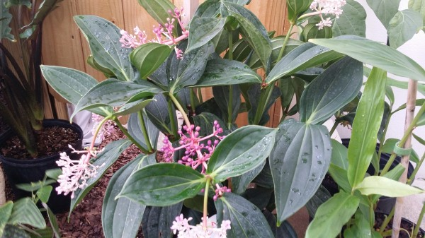 Medinilla Myriantha tropical plants florida nursery exotica