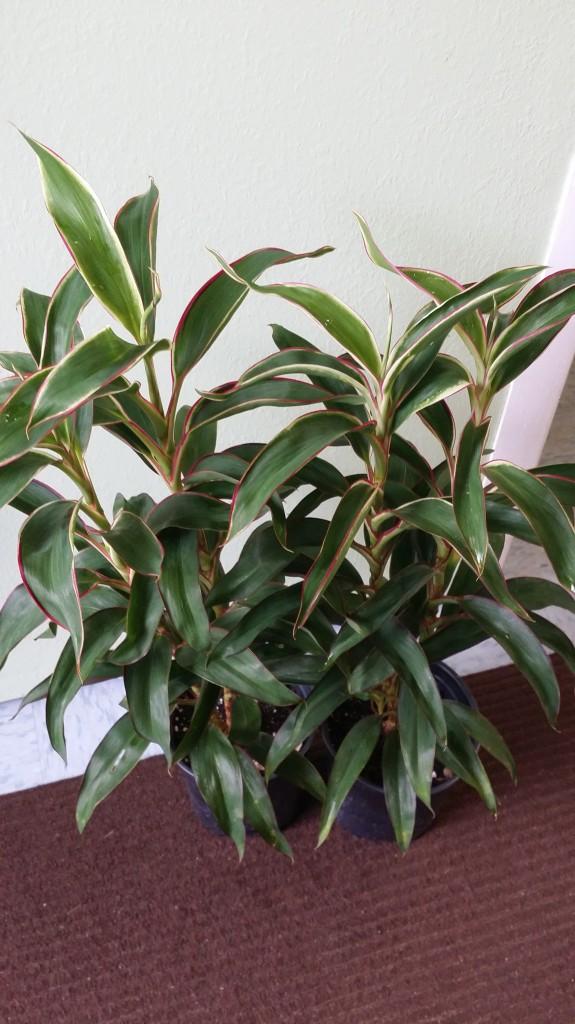 Cordyline Hawaiian Ti Plant  White Baby Doll compact fruticosa