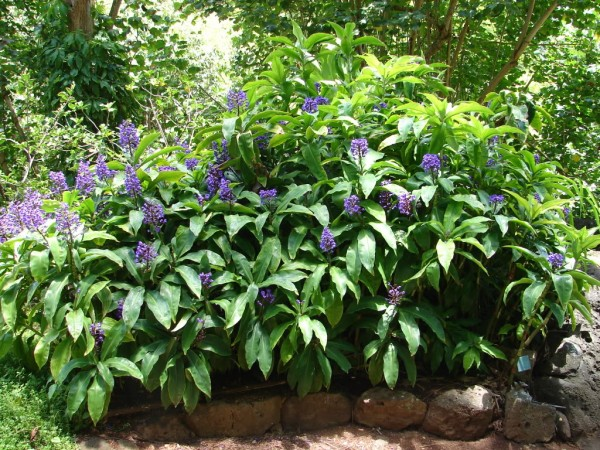 blue-ginger-dichorisandra-thyrsiflora-florida-nursery