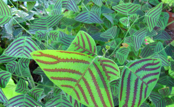 Christia obcordata  Swallow Tail Plant Butterfly Plant Florida Nursery Brevard Space Coast Melbourne