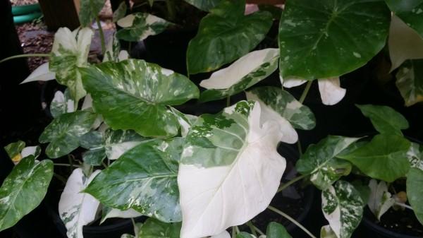 variegated Alocasia gageana california odora aka okinawa silver florida nursery