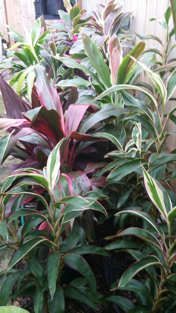 Cordyline fruticosa rare varieties hawaiian ti plant