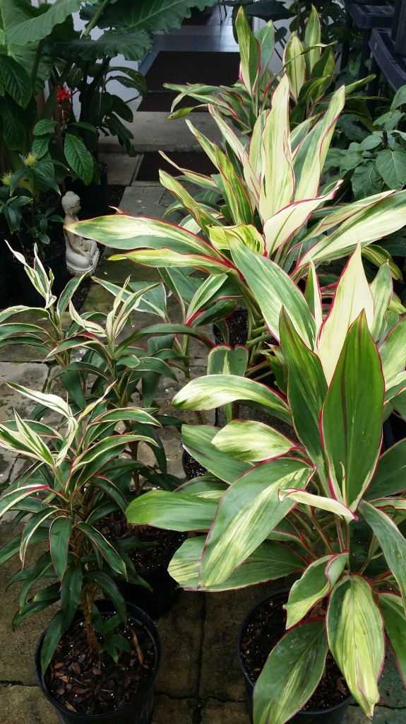 Christmas Cordylines Hawaiian Ti Plants