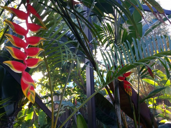 Heliconia rostrata hanging lobster claw - bird of paradise tropical plant nursery florida brevard melbourne