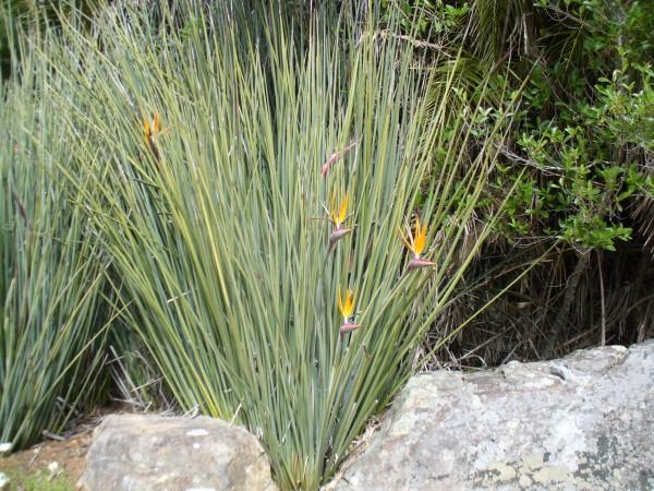 leafless bird of paradise strelitzia juncea florida nursery brevard melbourne tropical plants