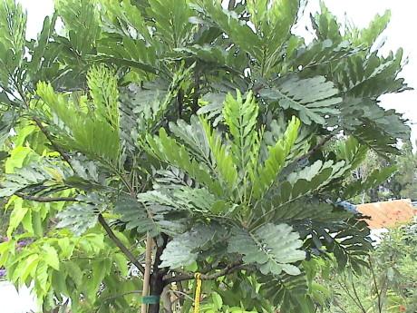 japanese-fern-tree-filicium-decipiens
