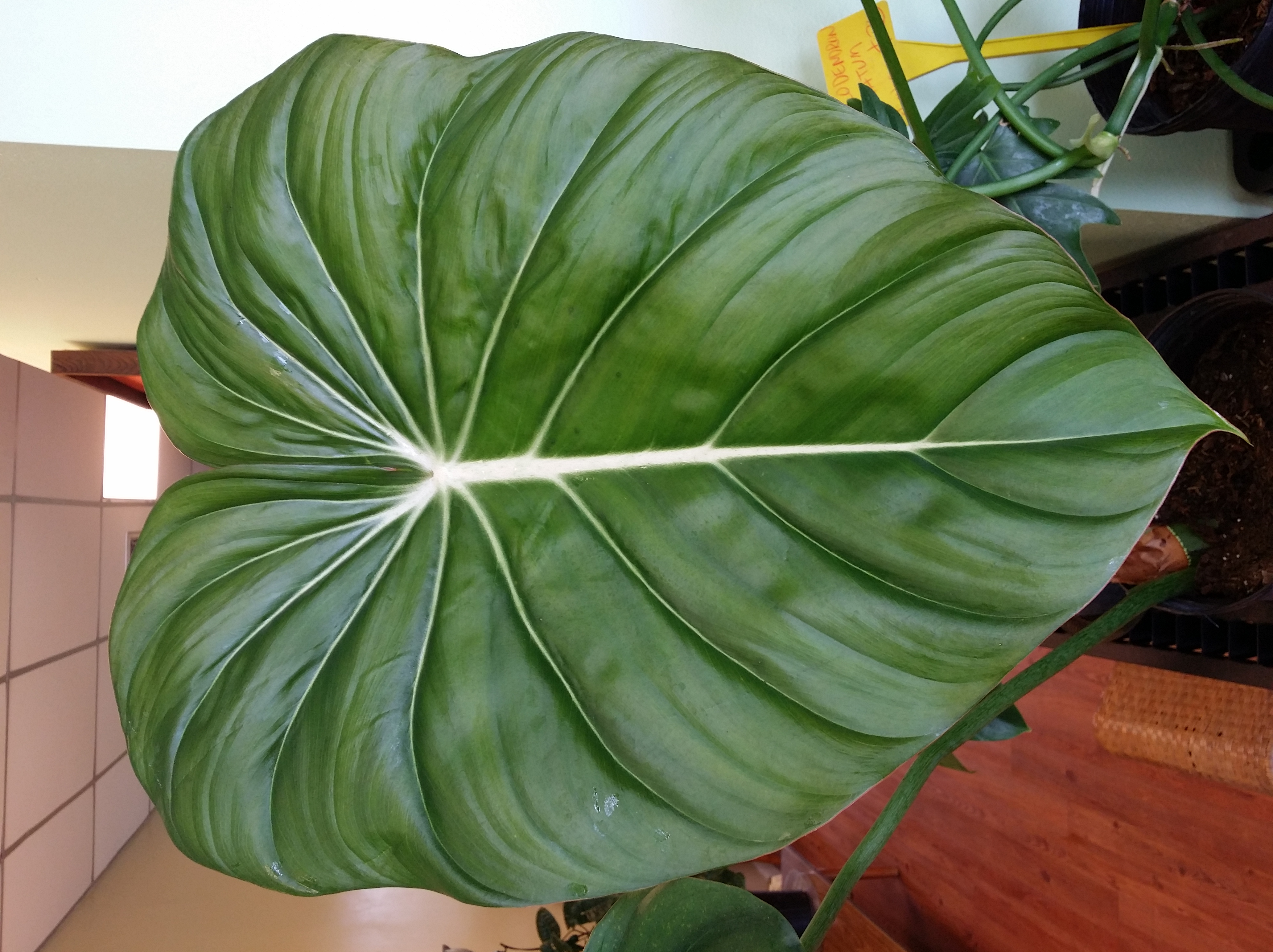 Some Big Leaves Around The Nursery Exotica Tropicals