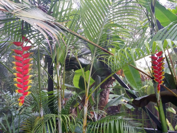 heliconia rostrata hanging lobster claw florida nursery brevard melbourne indian harbour beach