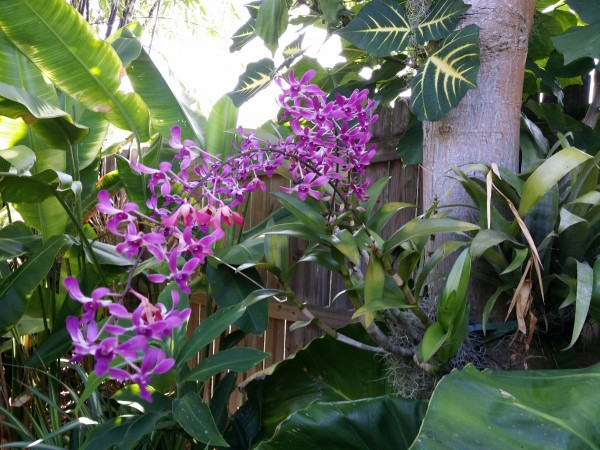 orchid blooming in garden florida tropical plant nursery buy online