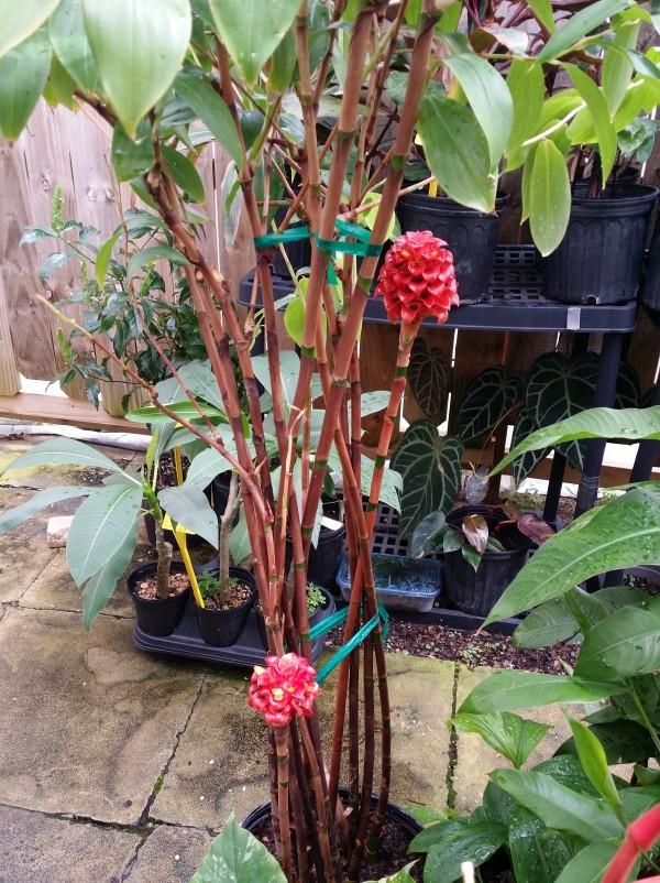 Tapeinochilos ananassae indonesian wax ginger florida nursery tropical plant buy online