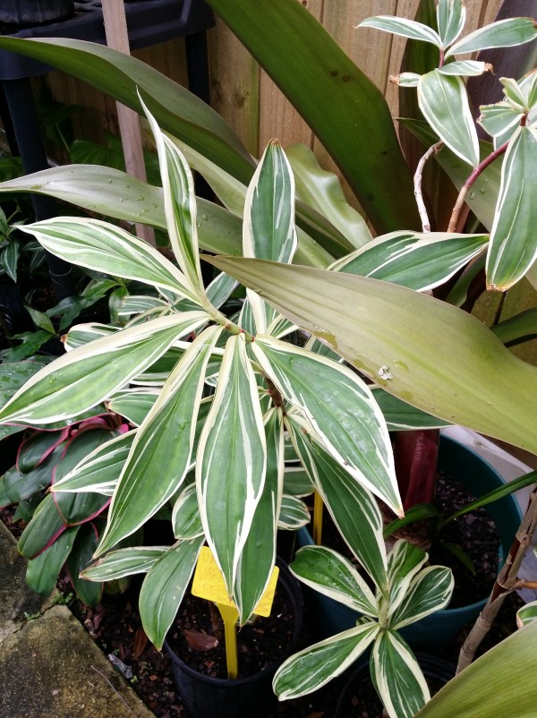 Costus speciosus Variegatus variegated crepe ginger buy online florida nursery melbourne