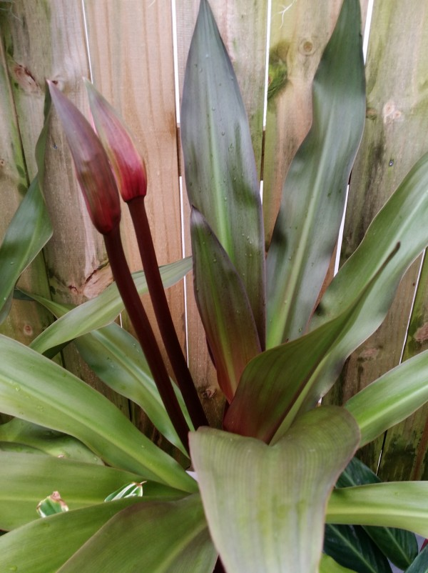 queen emma purple crinum lily florida nursery tropical plants buy online