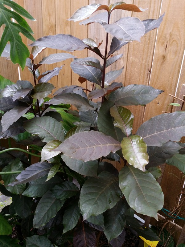 bronze leaf plant florida tropical nursery buy online
