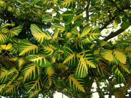 sunshine-tree-erythrina-variegata