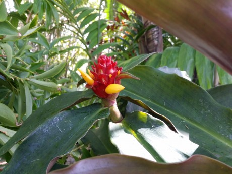 rare red costus ginger florida tropical plant nursery buy online