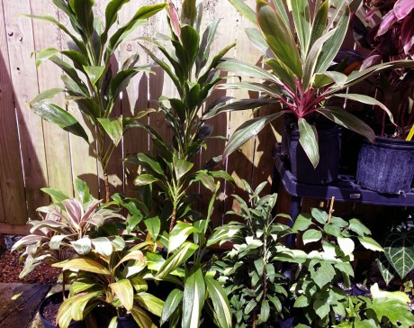cordyline fruitcoa ti plants florida nursery tropicals