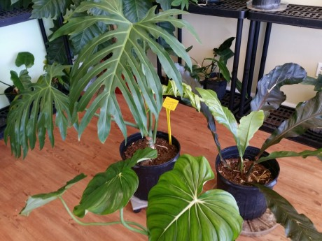 Philodendron radiatum, anthurium marie, mcdowellFlorida Tropical Plant nursery melbourne space coast brevard