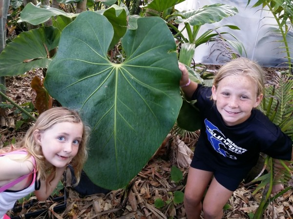 Neighborhood kids with Faustino's Giant Anthurium first big leaf of 2015 - second, even bigger one on the way (orange new leaf at center left)