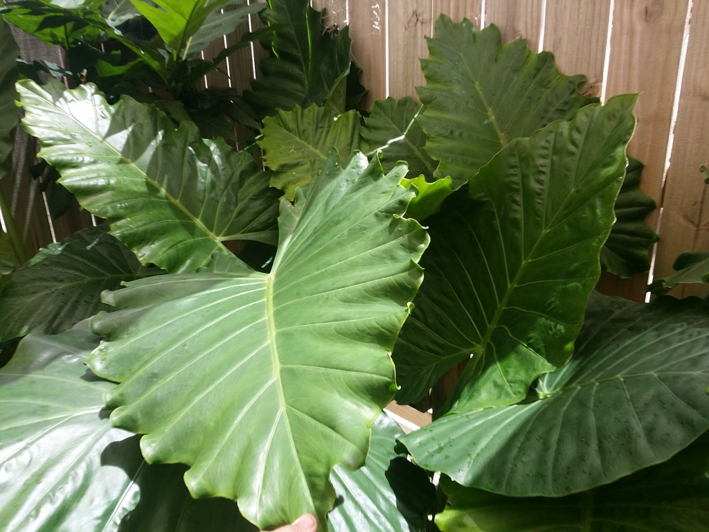 New Plants And Huge Leaves Exotica Tropicals Tropical