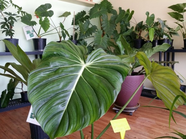 Philodendron 'McDowell'