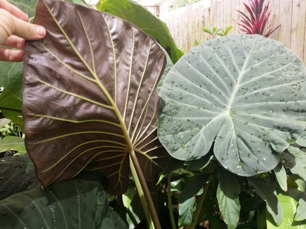 Alocasia 'Regal Shield'