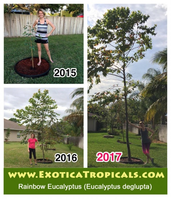 Growth rate of Rainbow Eucalyptus, Eucalyptus deglupta. When do Rainbow trees show their color? Buy Online