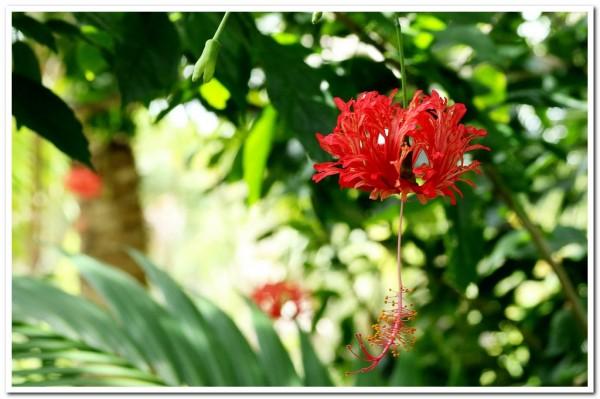 Hibiscus schizopetalus chinese red lantern
