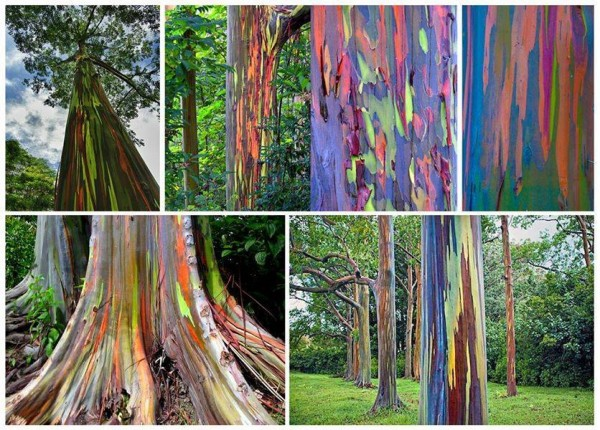 Rainbow Eucalyptus - Eucalyptus deglupta for sale buy