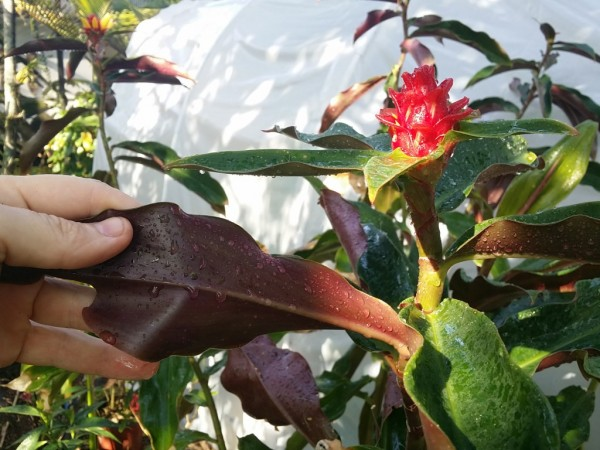 'Red Hybrid' Costus Ginger