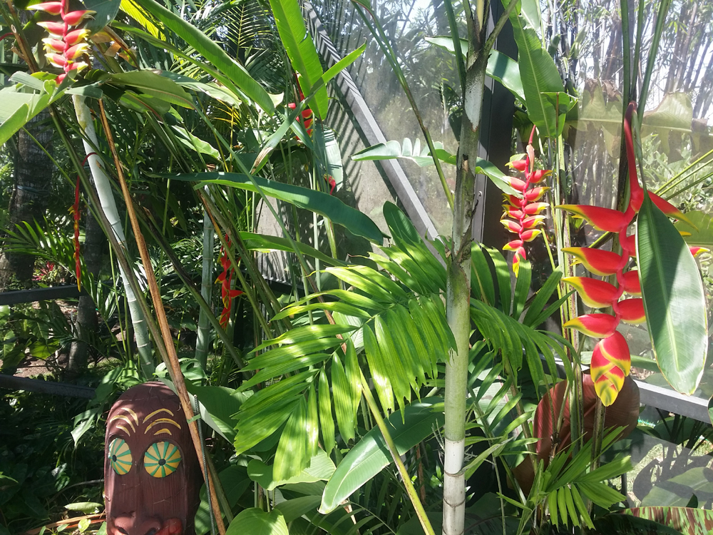 hanging lobster claw heliconia for sale