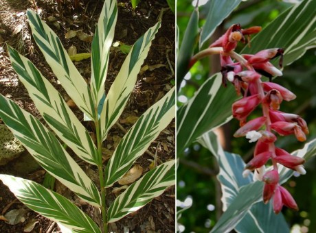 White Variegated Ginger - Alpinia vittata