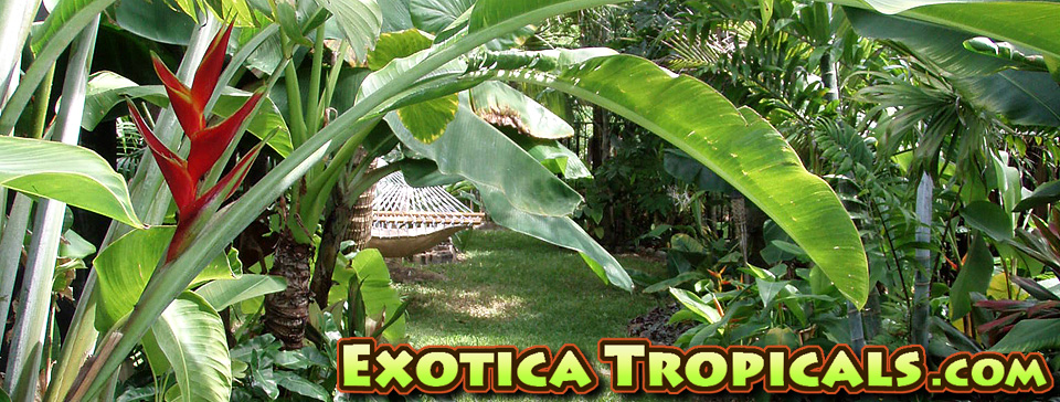 Heliconia | Exotica Tropicals – Tropical Plants Nursery in ...