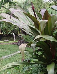 Tropical Accent Plants Exotica Tropicals Tropical